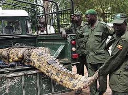 """After killing 60 people & captured by 50 men, this killer crocodile named """"Osama"""" sparks reactions"""