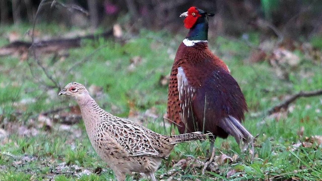Dordogne: la chasse à la perdrix et au faisan prolongée d'un mois