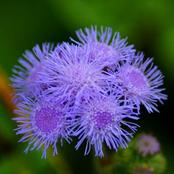 Garden Tips To Plant Ageratum Flowers