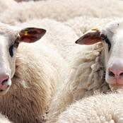How To Start A Lucrative Ram/Sheep Rearing Business In Nigeria