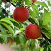 كيف يؤثر تناول هذه الفاكهة يوميًا على مستويات هرمون الأنسولين في جسم مرضى السكر؟