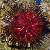 The sweet venomous fire urchin