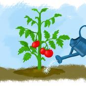 The Genius Tomato Fertilizer Recipe Every Farmer Should Know