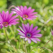 Garden Tips To Plant African Daisy Flowers