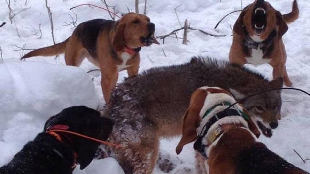 POLL: Should 'Hounding' – the unleashing of packs of powerful, radio-collared dogs upon a lone coyote – be banned?