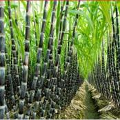 What is the best time to plant Sugar Cane in South africa ?