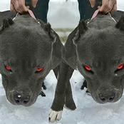 Some Dangerous Dogs Around the World, That Are Capable Of Killing Humans.