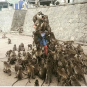 This Is Very Scary, What These Monkeys Are Doing To This Man Will Keep You Wondering
