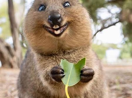 Meet Quokka, The World's Happiest Animal (Photos)
