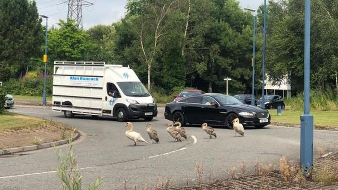 Family of swans go walkabout on busy roundabout and bring rush hour traffic to a standstill
