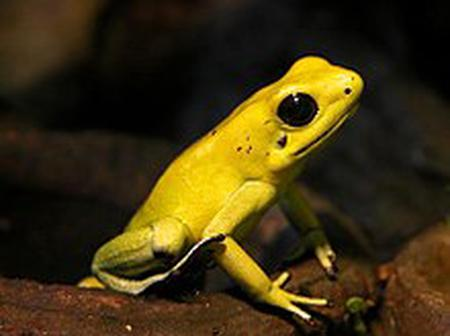 If you see this golden poison arrow frog run you are not save