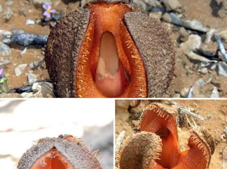 Hydnora Africana, the AMAZING Flower that can be found only in Africa (South Africa).