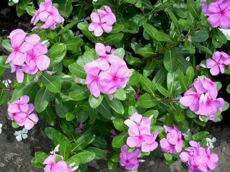 Catharanthus Roseus Health Benefits You Need To Know. Click, Read And Learn.