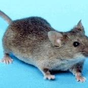 لماذا أمرنا الرسول الكريم بقتل الفأر.. وما هي الحكمة من قتله ؟