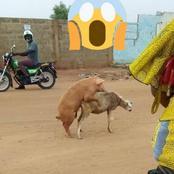 Cette vidéo montrant un cochon sur un mouton a suscité beaucoup de commentaires