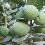 Read Various Diseases And Health Problems Giant Milkweed Can Cure