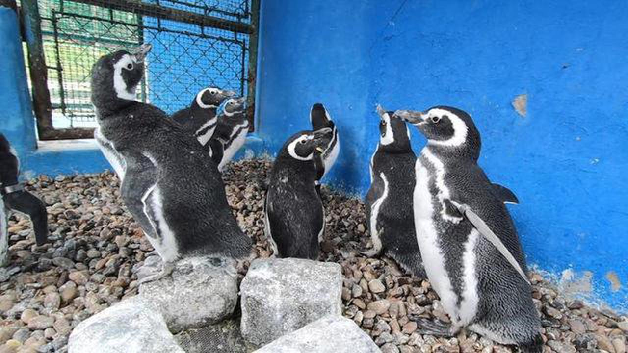 Argentine penguins waddle back to sea after rehab on dry land