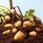 What To Consider As A Gardener When Planting Potatoes In Your Home