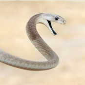This is How Black Mamba - Africa's Deadliest Snake - Kills its Victims [Photos]