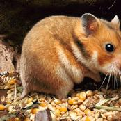 Animal Farming 101: Are golden hamsters friendly?