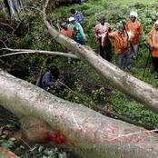 Bad Omen? Panic in Kiambu as Mugumo Tree Falls