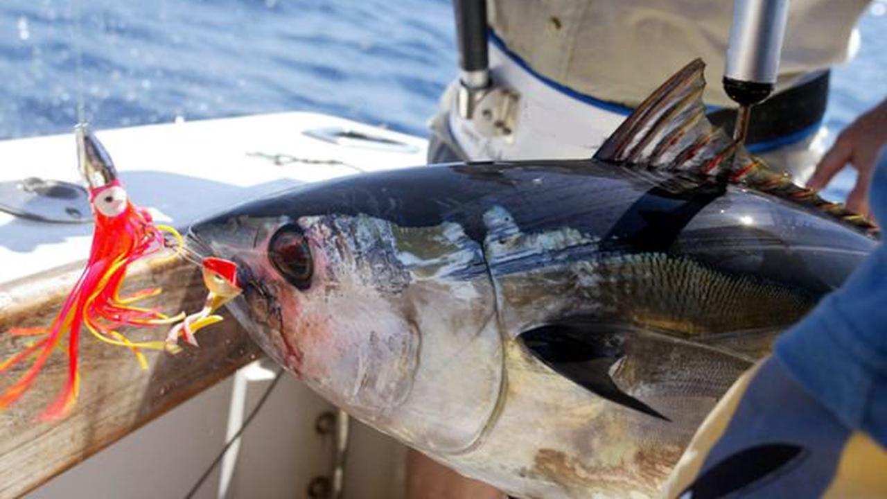 Une tonne de thon rouge saisie par la gendarmerie du Var : que dit la loi sur cette espèce protégée ?