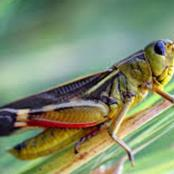 Health Benefits Of Ingesting Grasshoppers You Never Knew