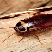Info ou intox :Les cafards peuvent mordre jusqu'à cinq fois plus fort qu'un être humain