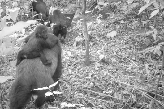 3814aeda4fe167791f0ef61428e9b6ae?quality=uhq&resize=720 - First Footage Of The World's Rarest Species Of Gorillas With Infants In Nigeria