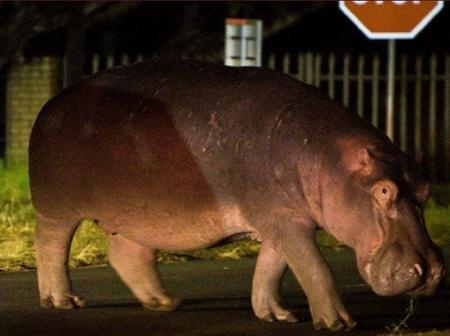Hippo on the lose seen Parading the Streets of Fourways / opinion
