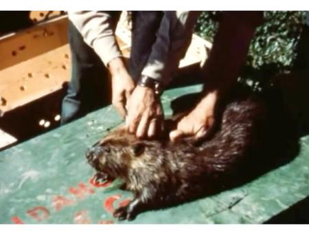 Controversial Experiment Involving Beavers still Baffles Experts to this Day