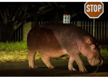 WATCH: Hippo walks around the streets of Fourways, Sandton