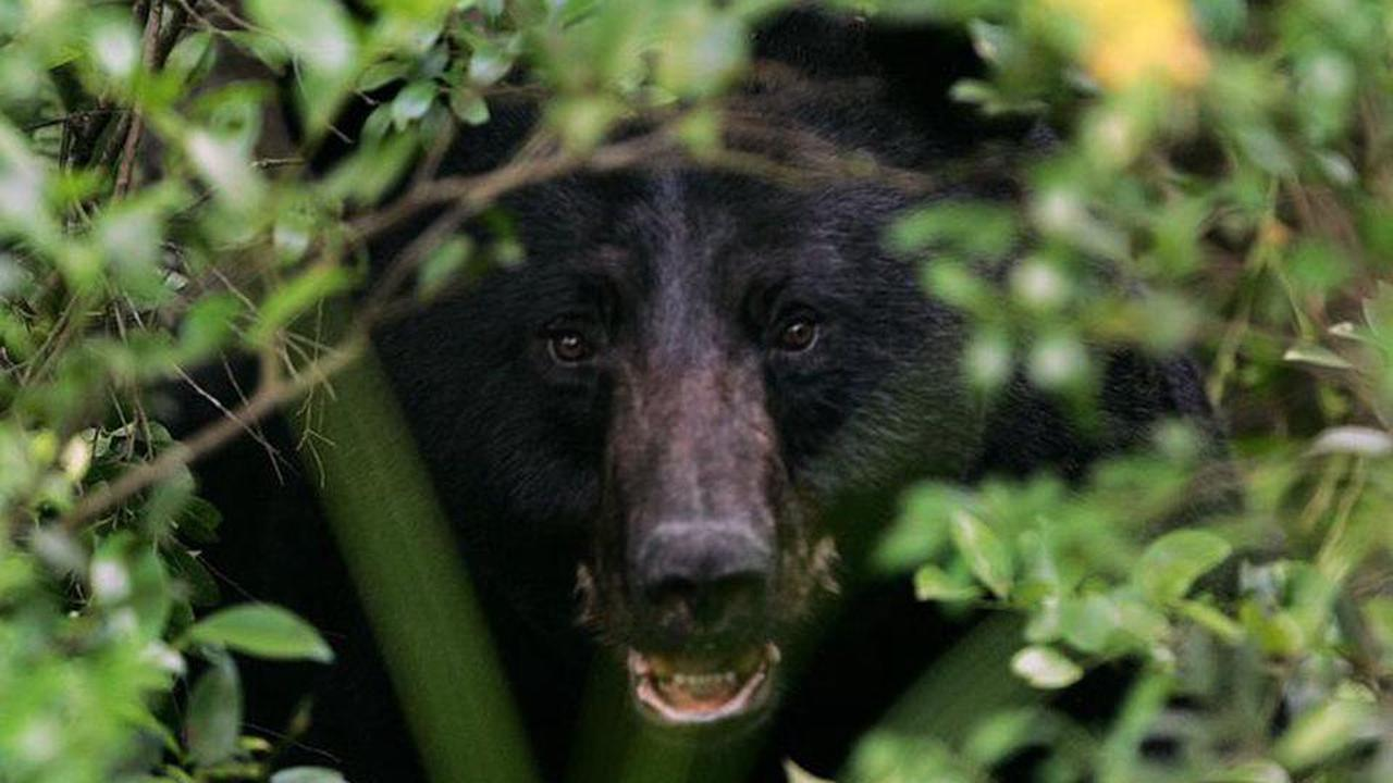 Scouting is key to finding black bears in Pennsylvania