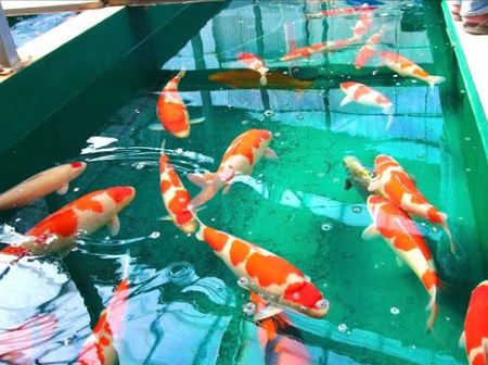 Check Out The Fish That Is Mostly Kept As A Pet In Japan: They Live For Over 25-35 Years (Photos)