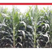 Maize Seeds To Plant On First Onset of Rain To Expect High Yield For All Regions In 2021