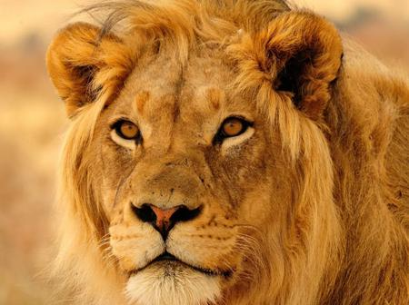 Intriguing facts about the king of the jungle