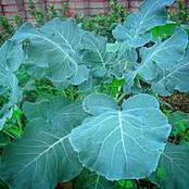 Health Benefits Eating of Sukuma Wiki