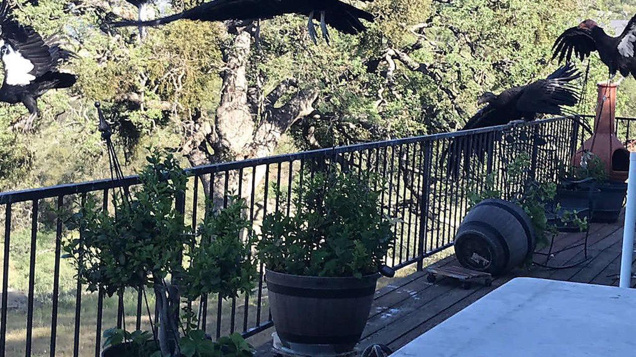 About 20 California condors show up on Tehachapi woman's deck