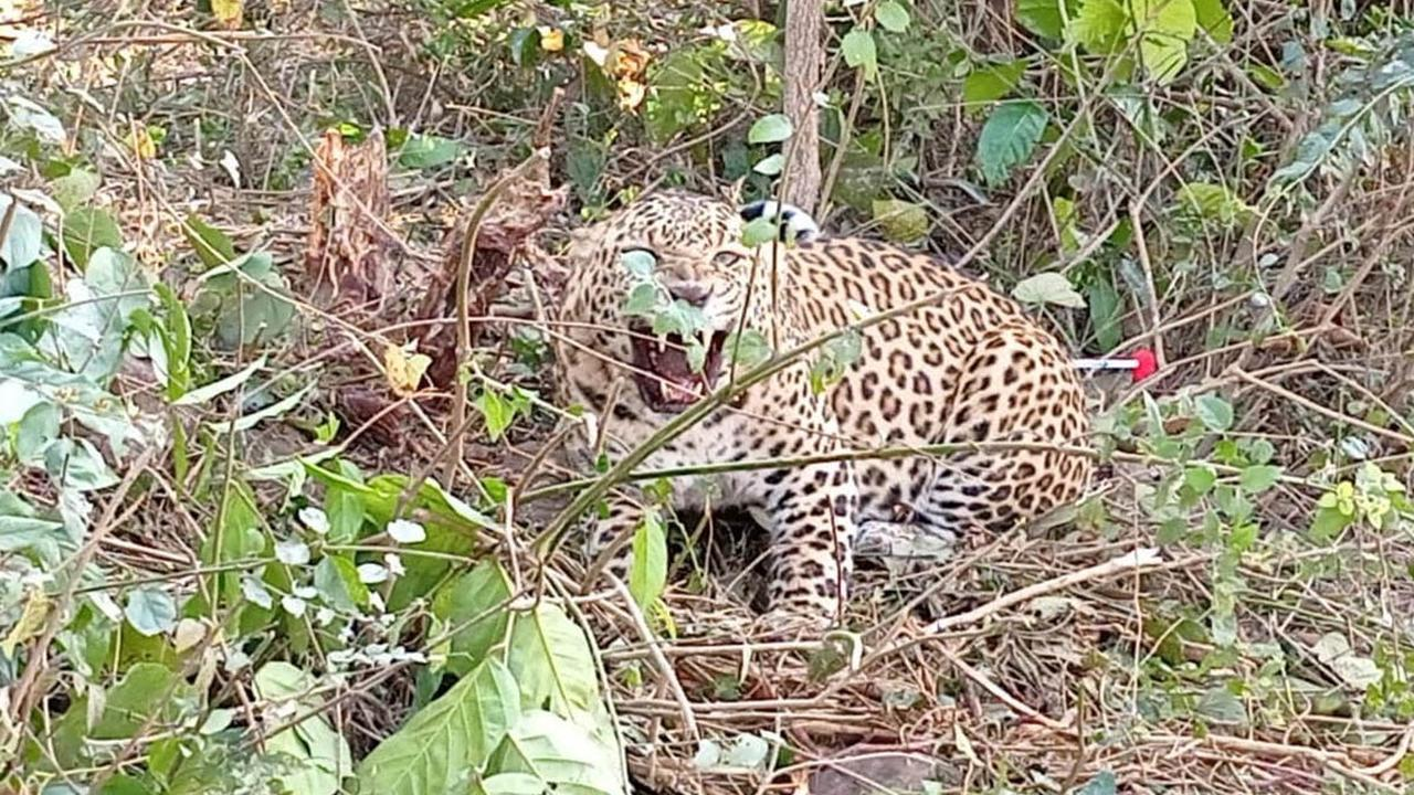 Leopard stuck in clutch wire trap rescued