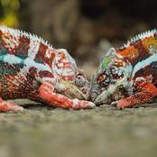 7 Colorful Facts You Might Not Know About Chameleons