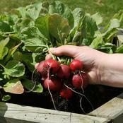 Garden Tips To Plant Radish