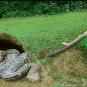 She turned to be a supper of a Python [Opinion]