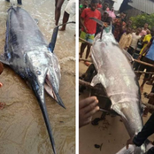 """I Can't Believe They Would Eat Something Like This""- Reactions As a Swordfish Is Caught in Nigeria"
