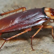 Have You Killed A Cockroach Before? -See These 9 Facts About Cockroach You Probably Didn't Know.