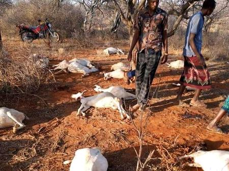 Sad as More Than 240 Goats Die After allegedly Drinking Water From an Ancient Well in Wajir County