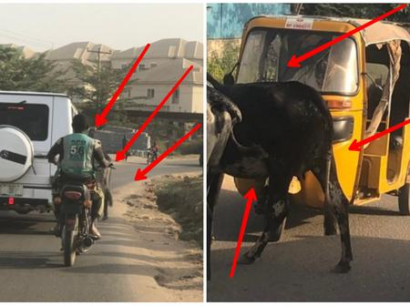 Reactions As Cattle Were Spotted On Abuja Road Today Despite Herders' Crisis In The Country