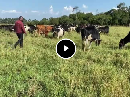 The Love of Cattle, MP Show Case Skills of Herding [Video]