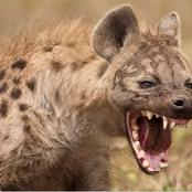 Is Hyena laughing or giggling ?