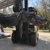 After A Hunter Opens Stomach Of A Huge Alligator, See What He Found.