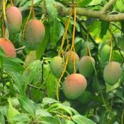 Salient Gardening Secrets Every Farmer Should Know On Planting Mangos